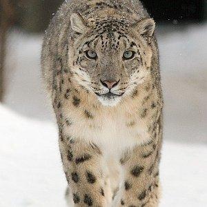 Sněžný leopard